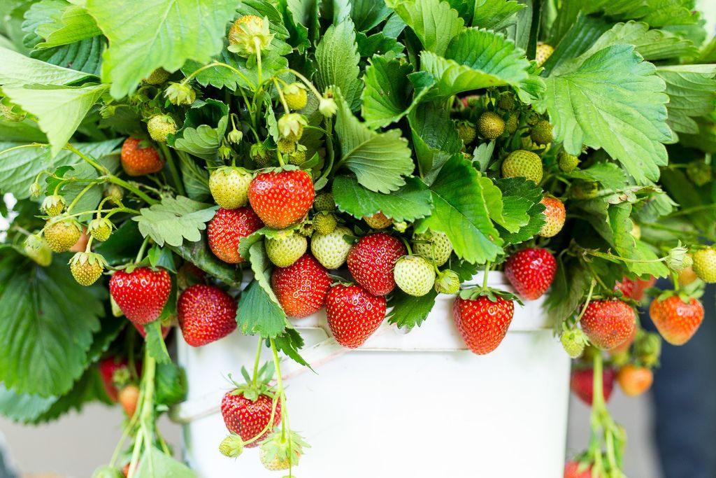 I trucchi per coltivare le fragole sul balcone