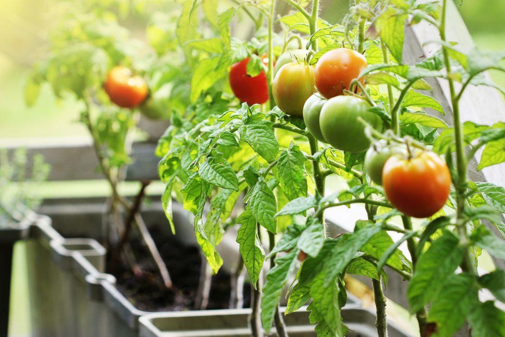 Pomodori sul balcone, come coltivarli